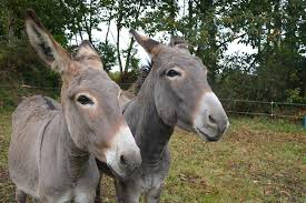 Donkey Ears Listening to the doings  of Arlington's Dems